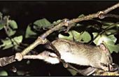 Eliminación de ratas de árbol