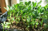 Crecen las plántulas