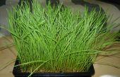Cultivar tu propio wheatgrass