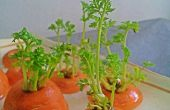 Bonsai de zanahoria
