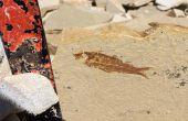 Partido de piedra caliza para encontrar fósiles!!!!