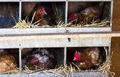 Criar sus gallinas por las cooperativas de construcción con diferentes planes de Coop de pollo