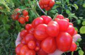 Cultivar las mejores variedades de tomate de semillas