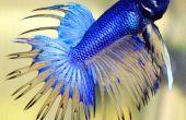 Cómo correctamente casa peces betta a casa