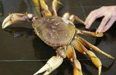 Cómo cocinar y limpiar un cangrejo de Dungeness frescos