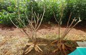 Cómo plantar mandioca \ Yuca \ Tapioca