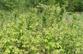 Cultivo de plantas de Black Berry