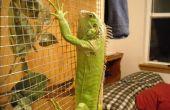 Instrucciones básicas de cuidado de la Iguana verde