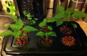 Jardín de hierbas hidropónicas barato y fácil