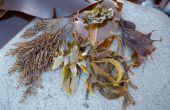 Cómo recolectan Nori, Wakame y otras algas