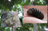 Savia del árbol del pan y la Larva de la mosca de Bot