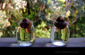 Cultivo de plantas de aguacate de semilla