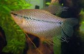 Trichogaster leerii Gourami perla