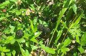 Panecillos de trigo BlackBerry