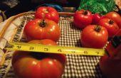 Casa caliente de tomate