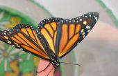 Las mariposas monarca - Huevo a la mariposa