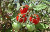 Cómo hacer una cama elevada con tomates