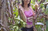 Cómo cosechar plátanos