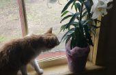 Lirio de cura envenenamiento en gatos (en casa).