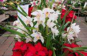 13 opciones de planta floreciente para la Navidad, que no sean de flores de Pascua