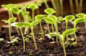 Cómo cultivar plantas de semillero