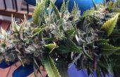 Corte y secado Cannabis