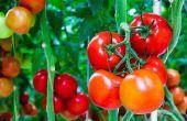 Inusuales formas a utilizar tomates