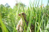 Gratis desde nuestros polluelos de codorniz orgánica.  Codornices en el jardín Cailles bio en liberté