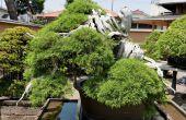 Cultivo de un Bonsai