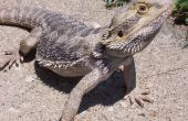 Complete Bearded Dragon cuidado