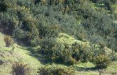 Quite el Tojo (Ulex europeos) con arbusto nativo de Nueva Zelanda