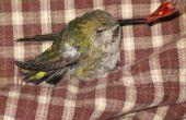 Cómo rescatar un colibrí