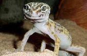 """Cómo cuidar para un """"Gecko leopardo"""""""