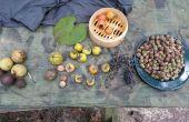 Procesamiento de alimentos comunes del árbol: Bellotas, nueces de nogal, nueces negras, caquis