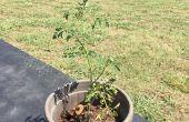 Trasplante de tomates voluntarios