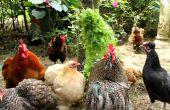 Estrés en los pollos orgánicos - cómo implementar estrategias para prevenir y detener el estrés.