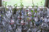 Pop botella planta propagador (cultivo de menta)