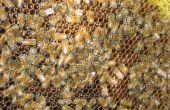 Cosecha y extracto de miel