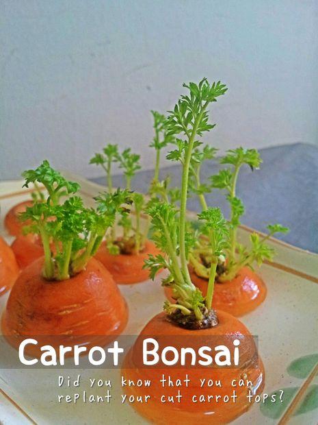 Bonsai De Zanahoria Askix Com Las raíces reciben una solución nutritiva y equilibrada disuelta en agua con los elementos químicos esenciales para el desarrollo de las plantas. bonsai de zanahoria askix com